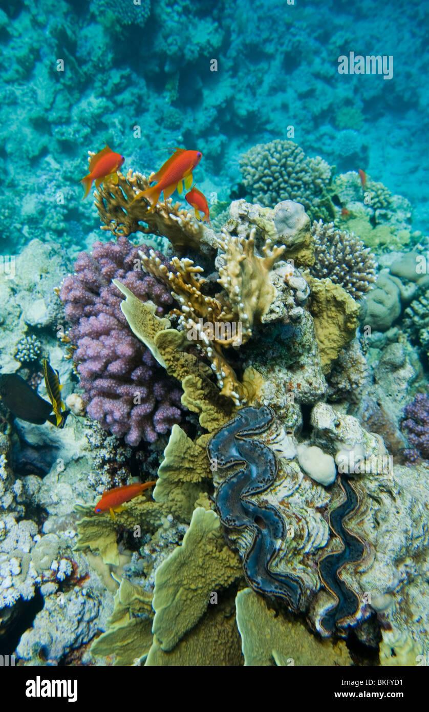 Lyretail swimming around clams - Stock Image