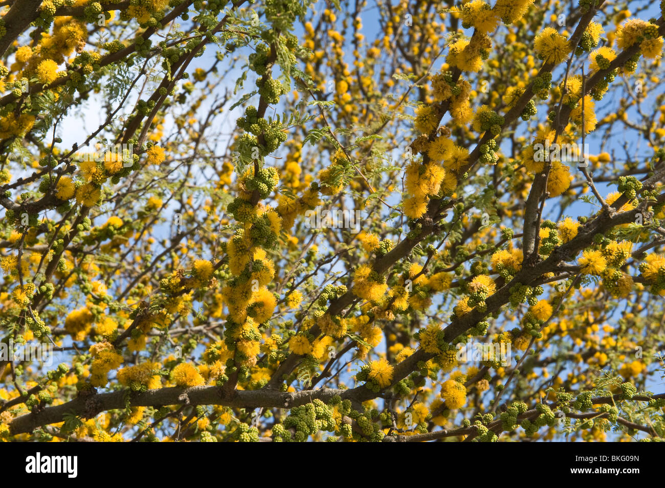 Flowering Tree With Yellow Flowers Spring Barcelona Spain Europe