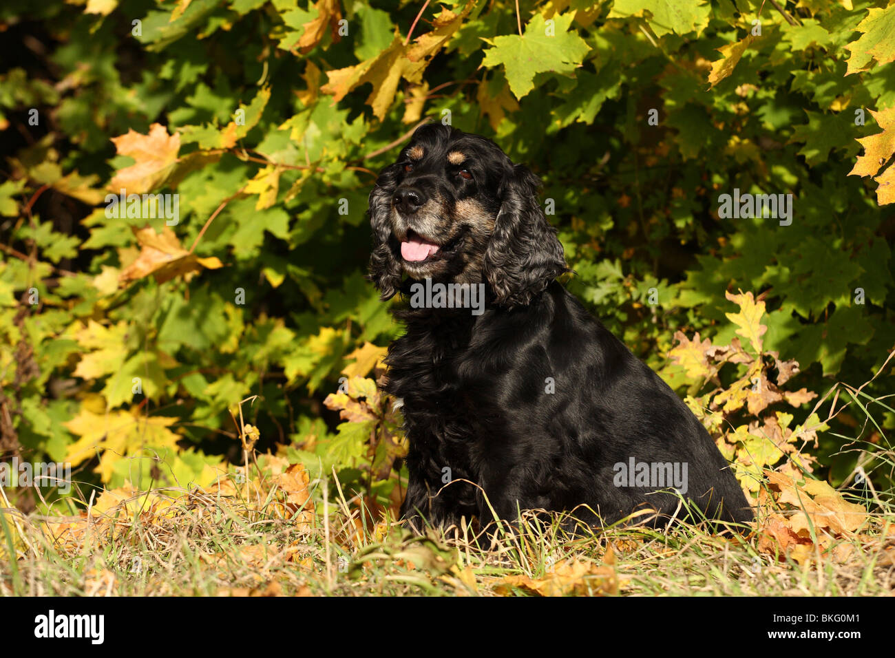 Cocker Spaniel Stock Photo