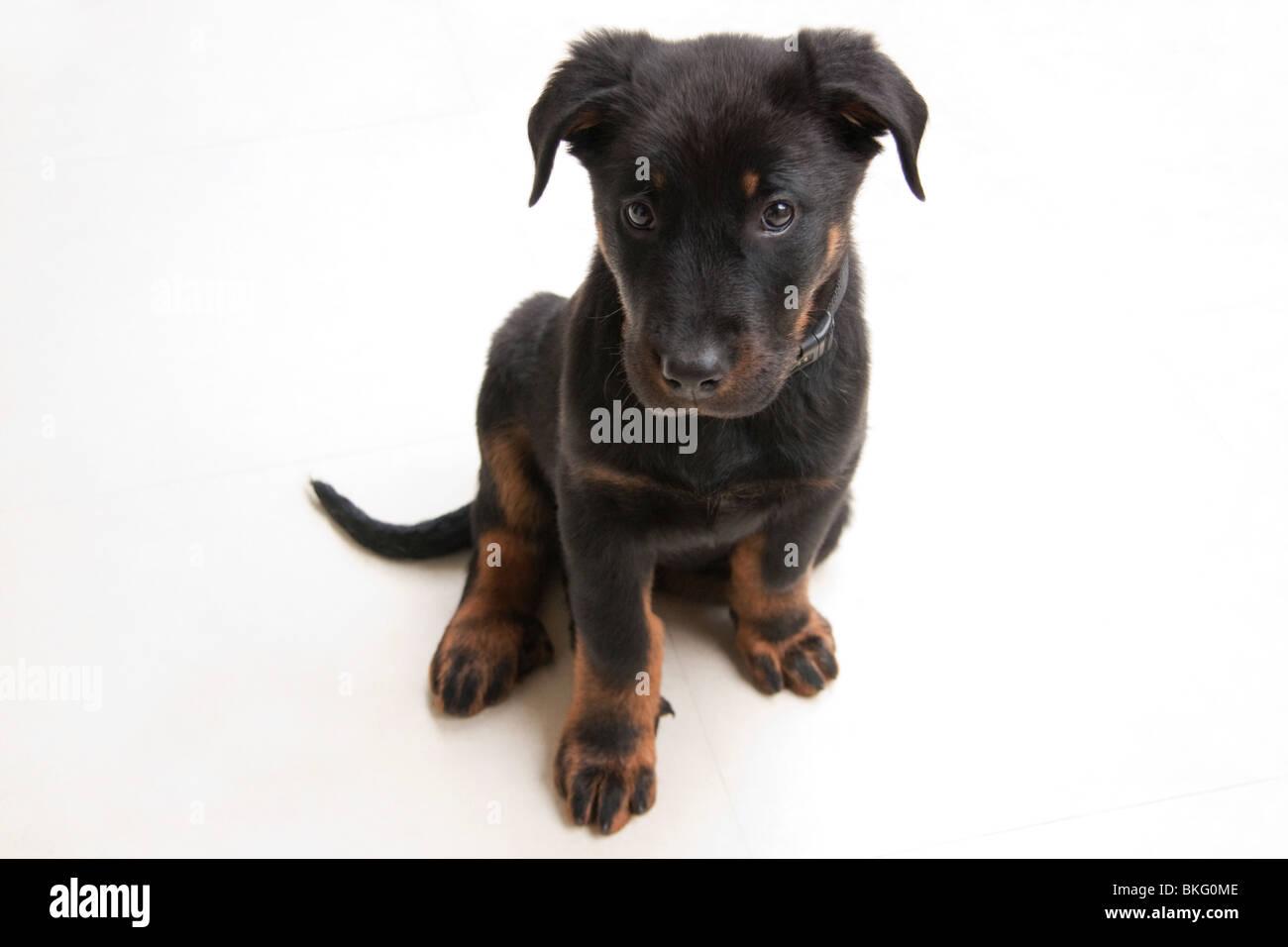 Beauce Shepherd Pup - Stock Image