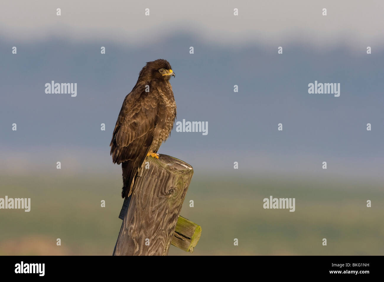Common Buzzard on a stake-out - Stock Image