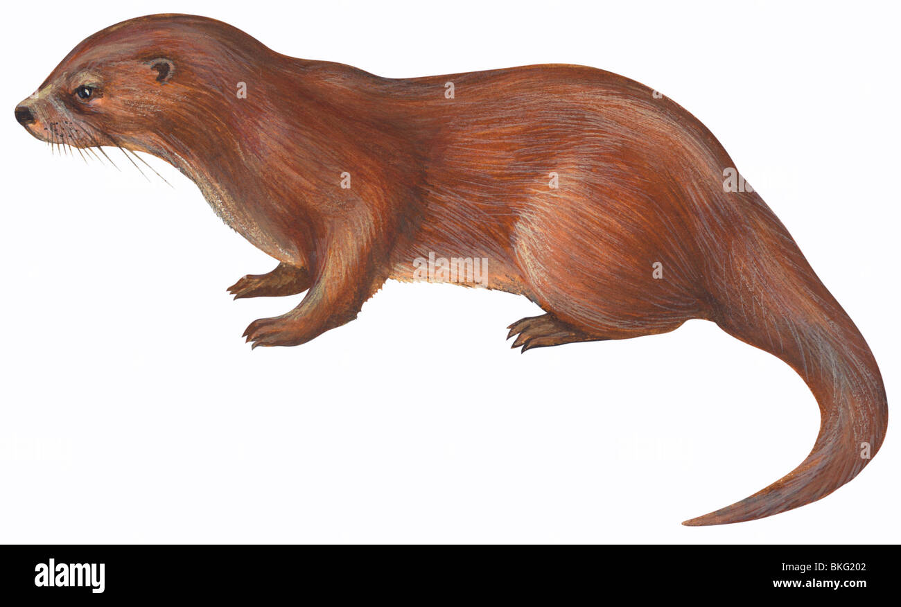 European otter - Stock Image