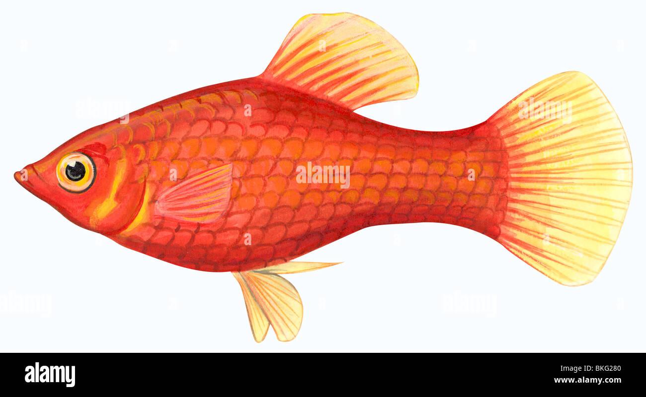 Southern platyfish - Stock Image