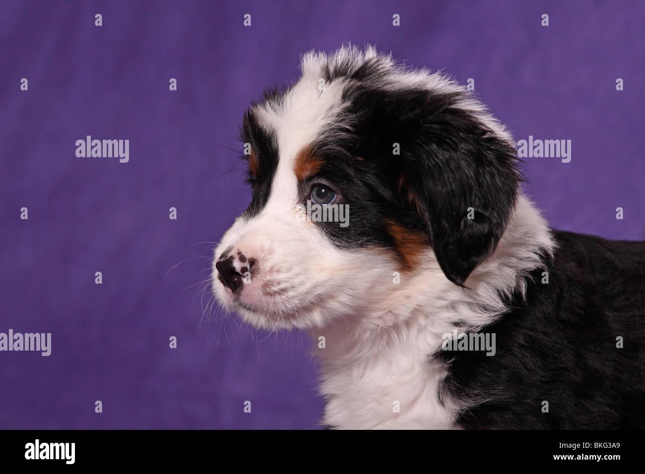 Großer Schweizer Sennenhund Welpe / Great Swiss Mountain Dog Puppy Stock Photo