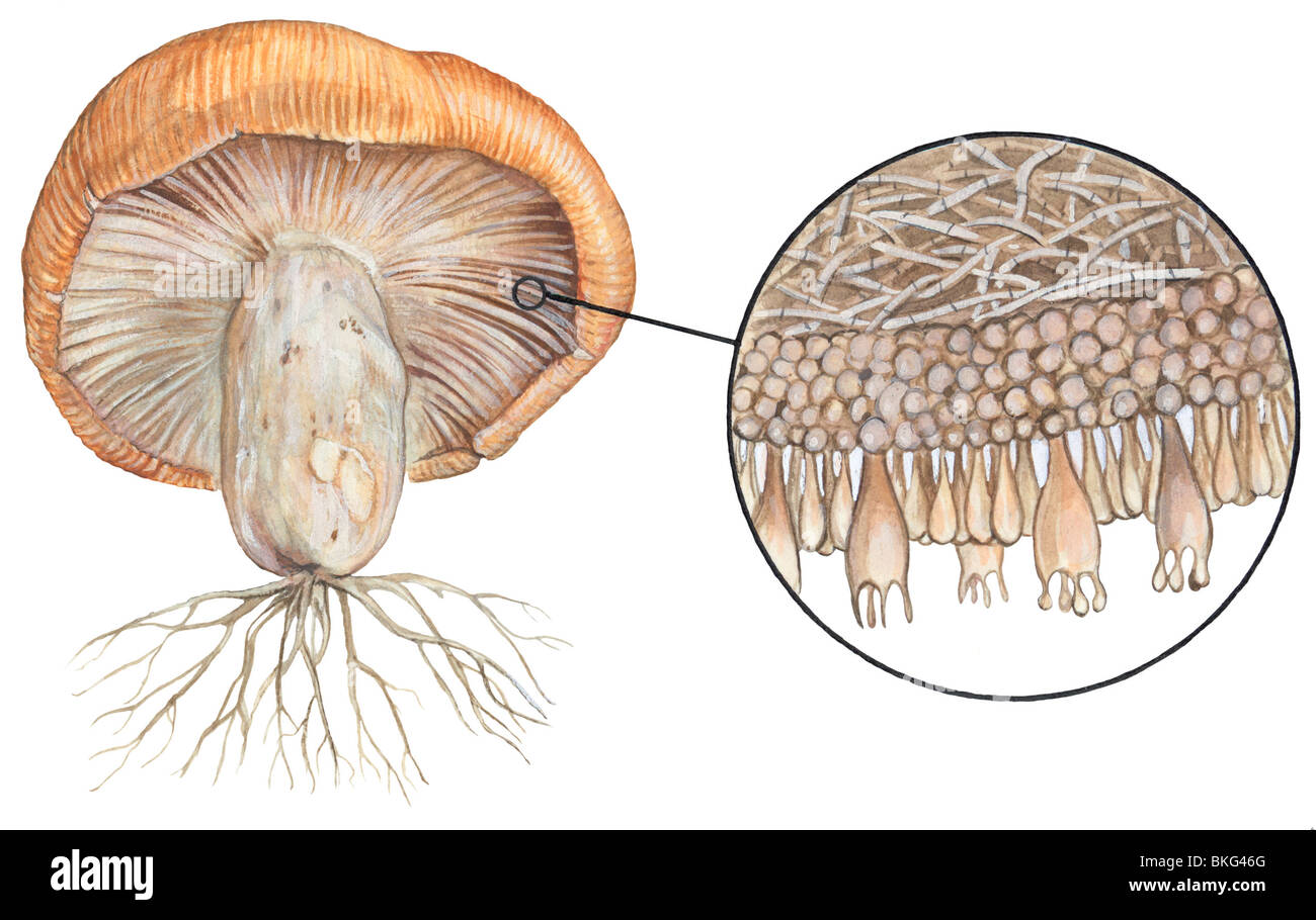 a description of the basidiomycetes fungi Selecting that species takes you to a species page that contains a detailed description,  types of fungi not all fungus-plant  basidiomycetes).