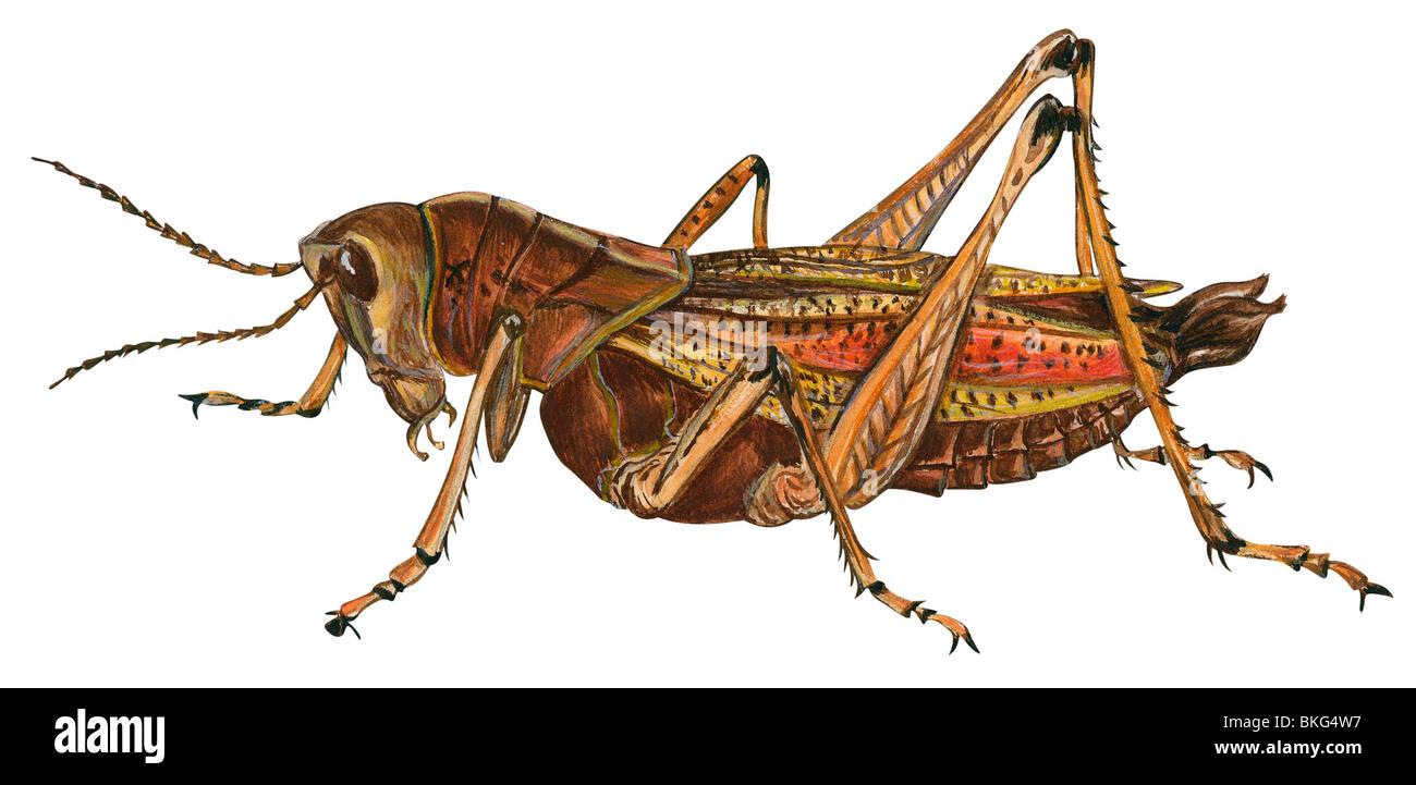 Grasshopper Anatomy Stock Photos & Grasshopper Anatomy Stock Images ...
