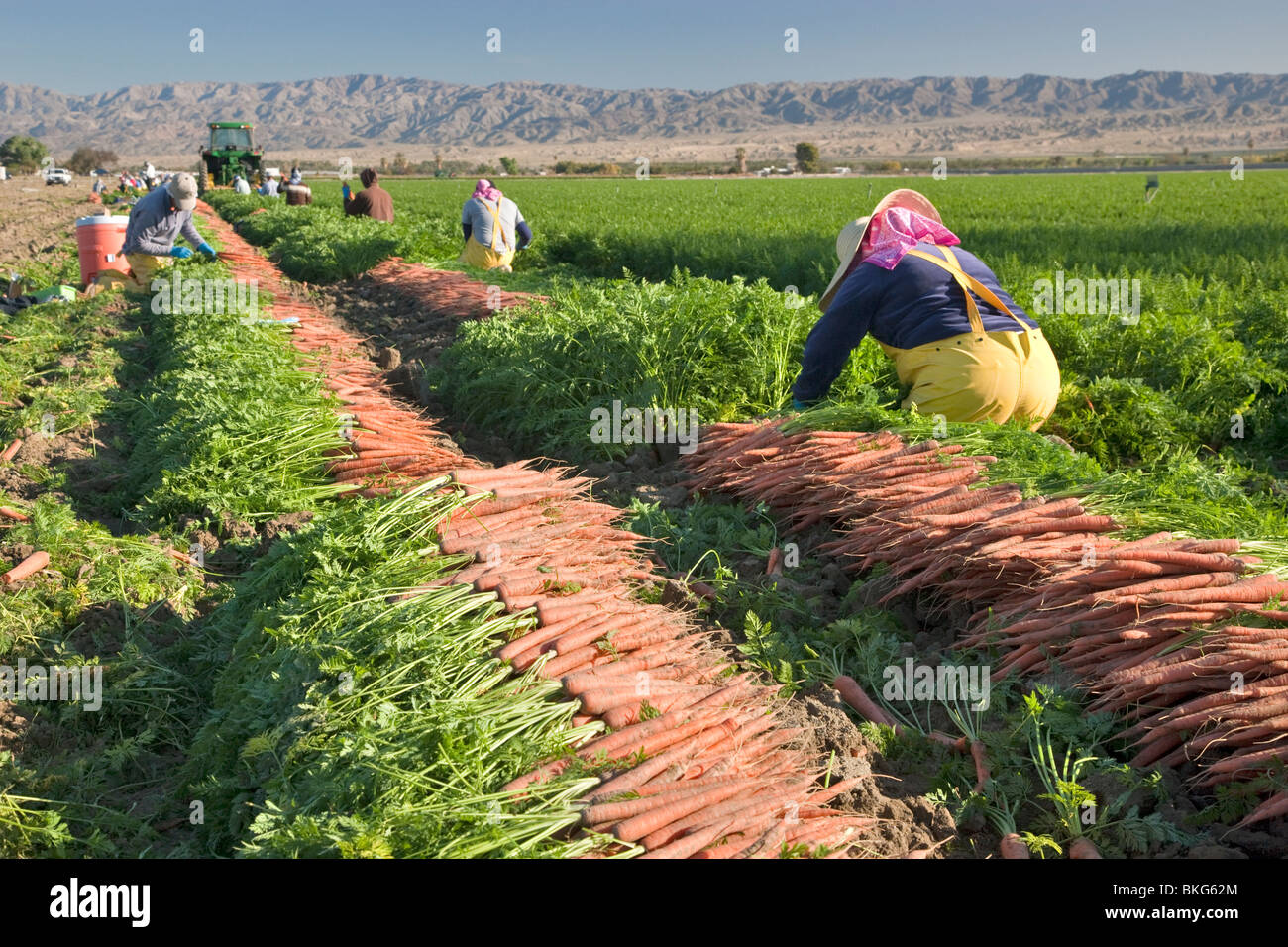Carrot  'Daucus carota' harvest, workers lifting. - Stock Image