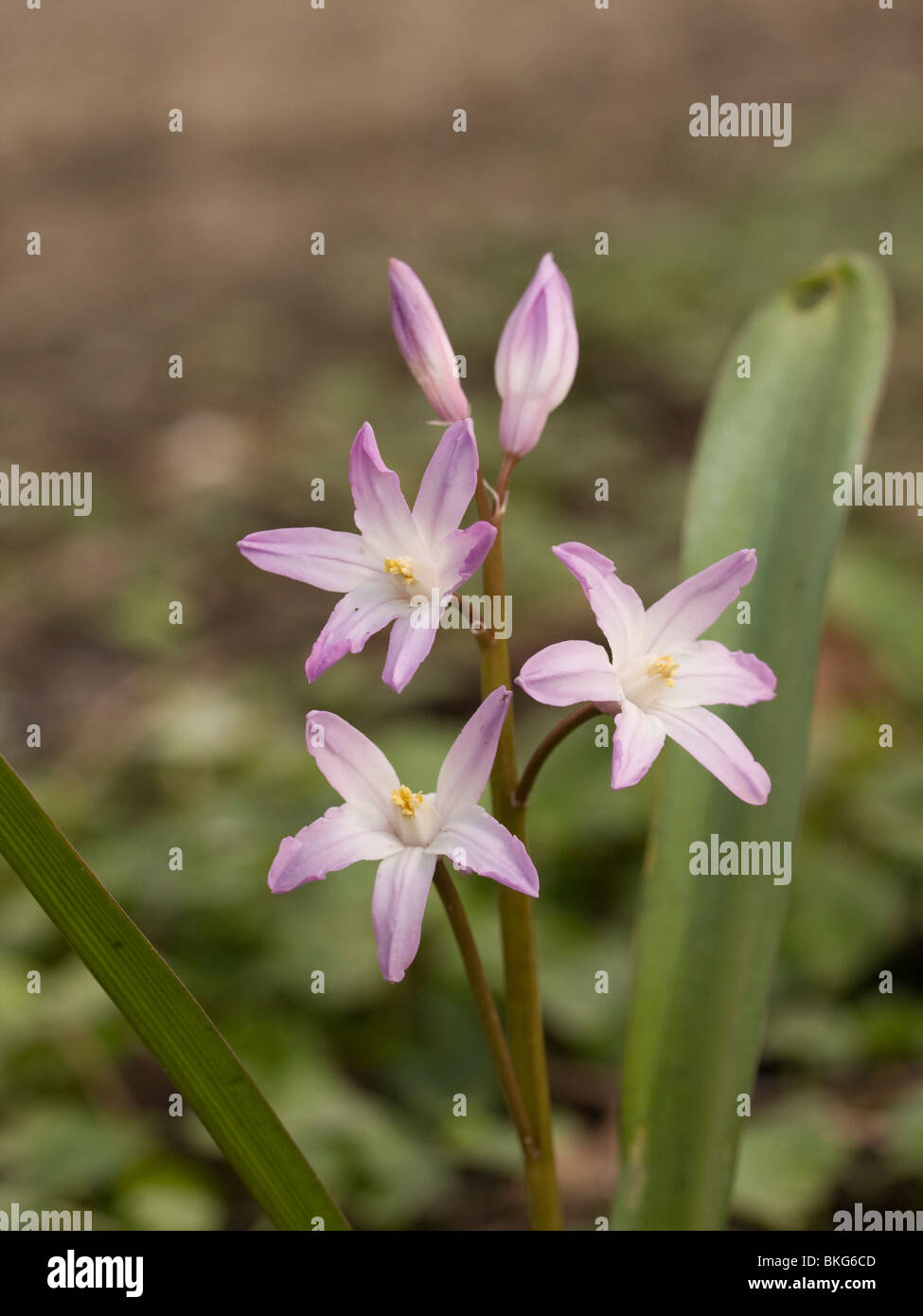One of the earliest stock photos one of the earliest stock images scilla siehei is one of the earliest spring flowers stock image mightylinksfo