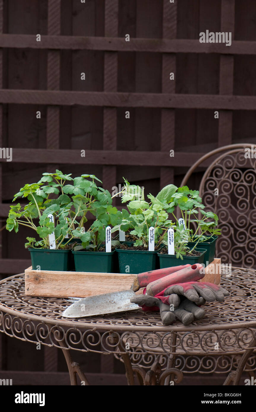 Hand trowel, fork, gardening gloves and a selection of nursery grown herbaceous plants in pots ready to plant out - Stock Image