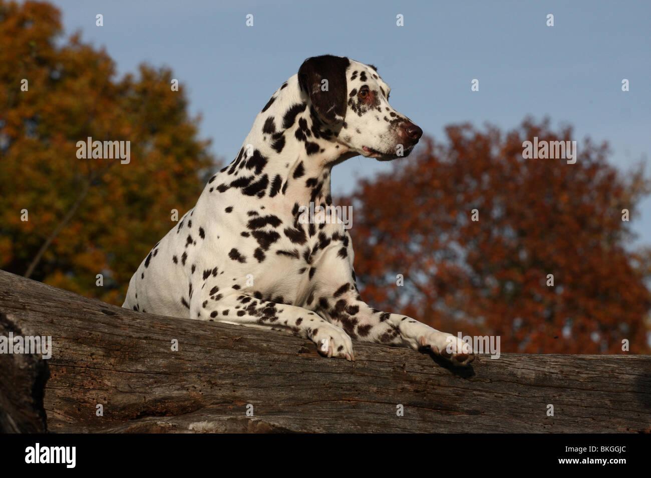 Dalmatiner / Dalmatian - Stock Image