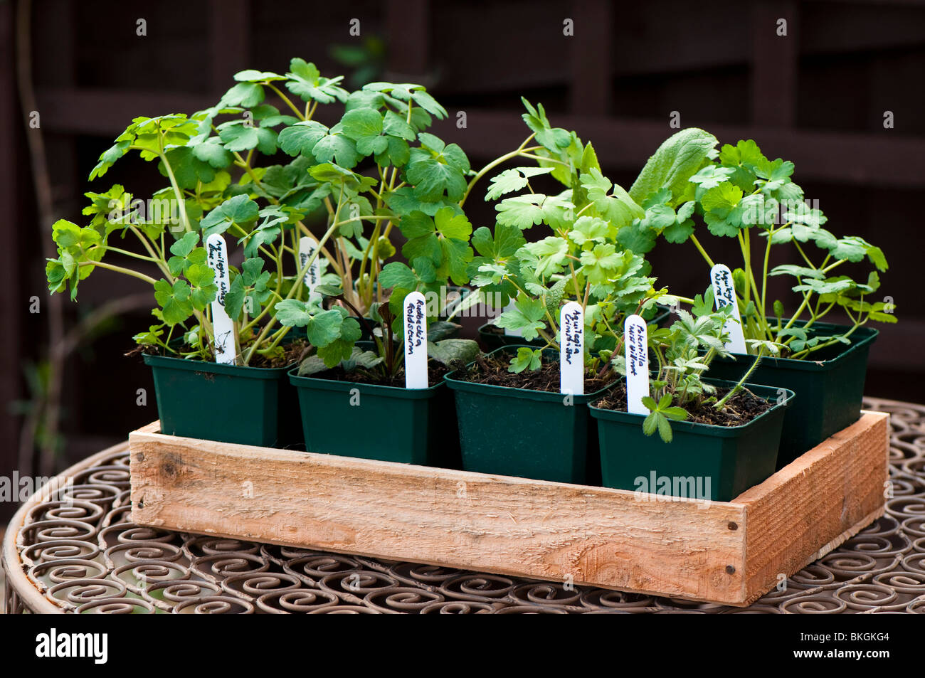 Selection of nursery grown herbaceous plants in pots in a wooden tray ready to plant out in the garden - Stock Image