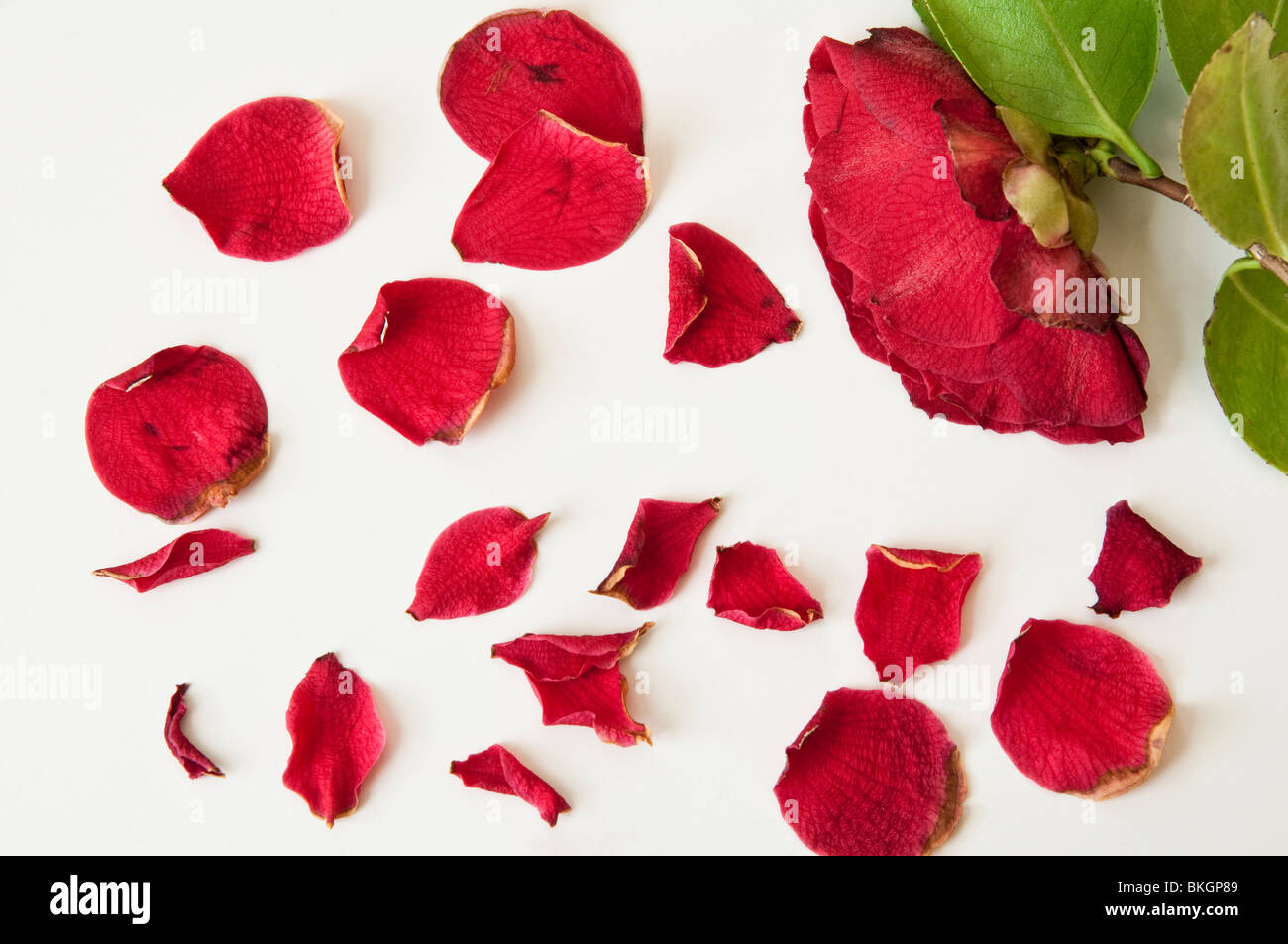 Petals and red Camellia flower which are beginning to fade and wither. - Stock Image