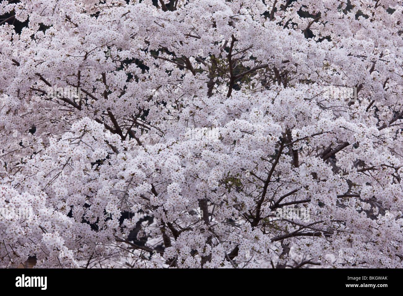 Cherry blossoms full-bloomed Stock Photo