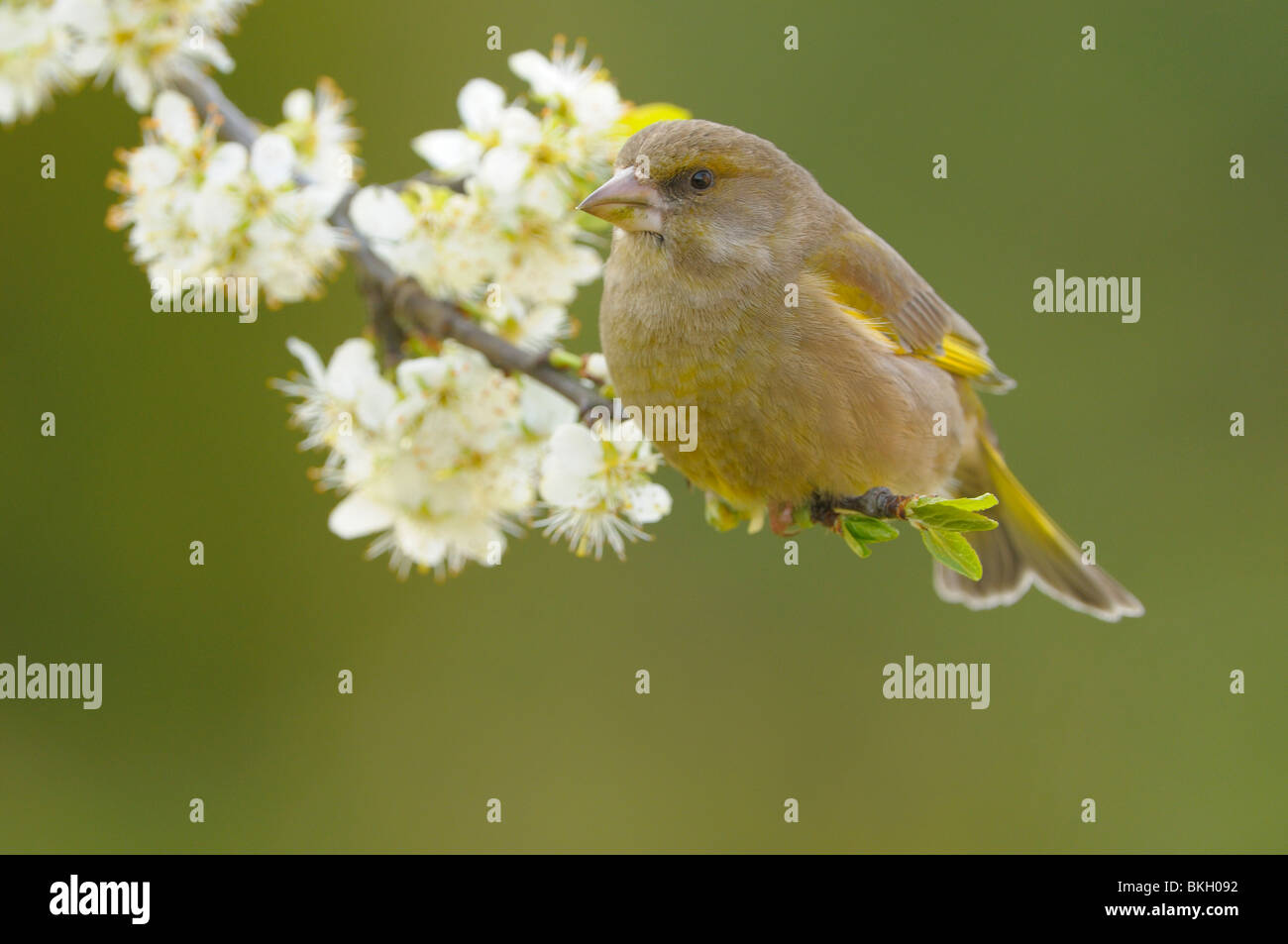 Female Greenfinch perched on end of a blooming branch. Vrouw Groenling zittend op einde van een bloeiende tak Stock Photo