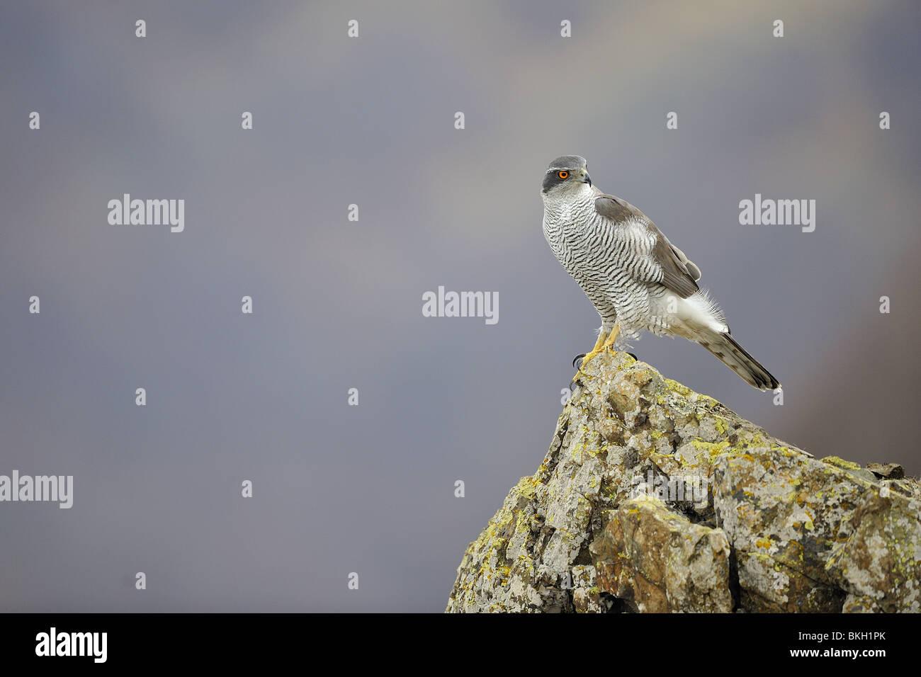Northern Goshawk standing on rock in winter - Stock Image