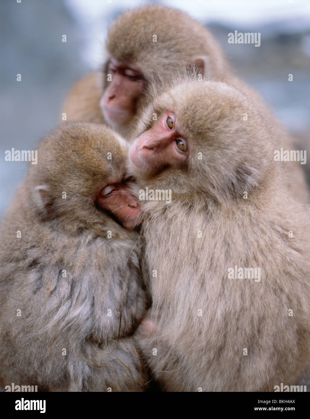 Japanese Snow Monkey , Japanese Macaque ( Macaca fuscata ) bathing in hot springs Jigokudani, Nagano, Japan Stock Photo