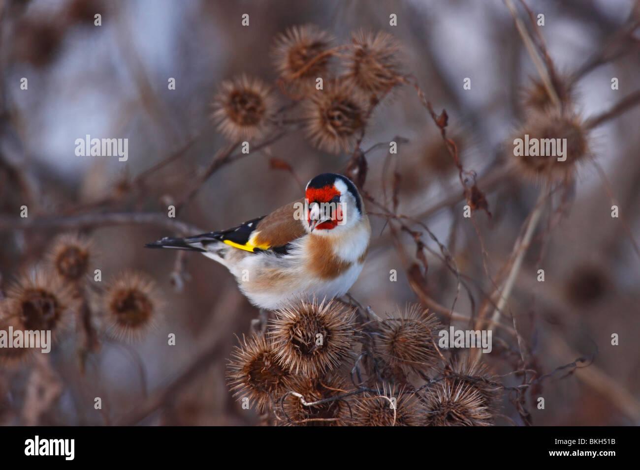 Stieglitz, Carduelis, Distelfink, goldfinch, Stock Photo