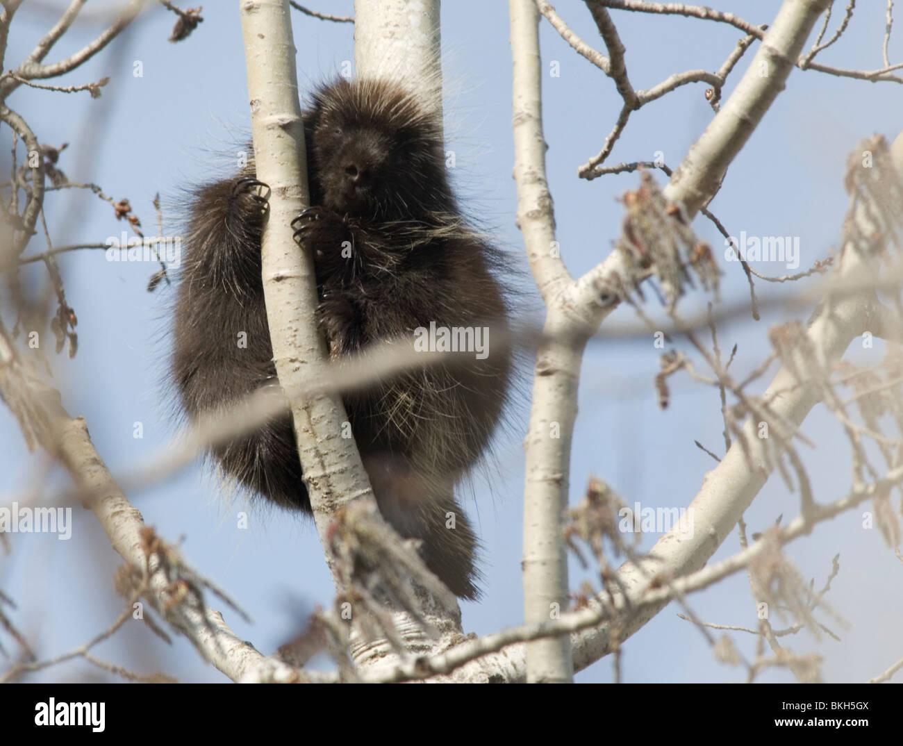 Een Noord-Amerikaans Stekelvarken zittend in een boom,A Pocupine sitting in a tree. Stock Photo