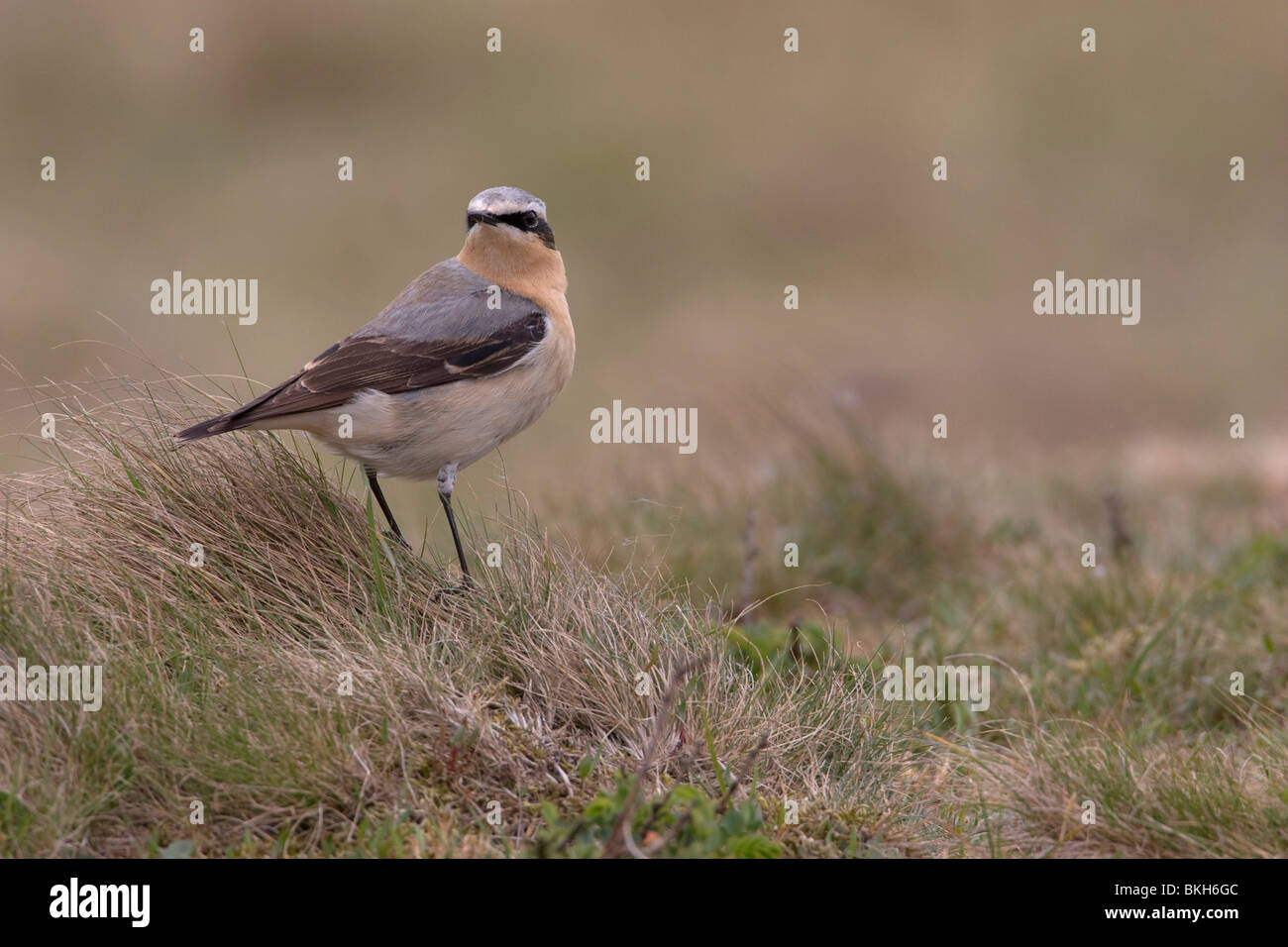 Northern Wheatear, Oenanthe oenanthe, Tapuit Stock Photo