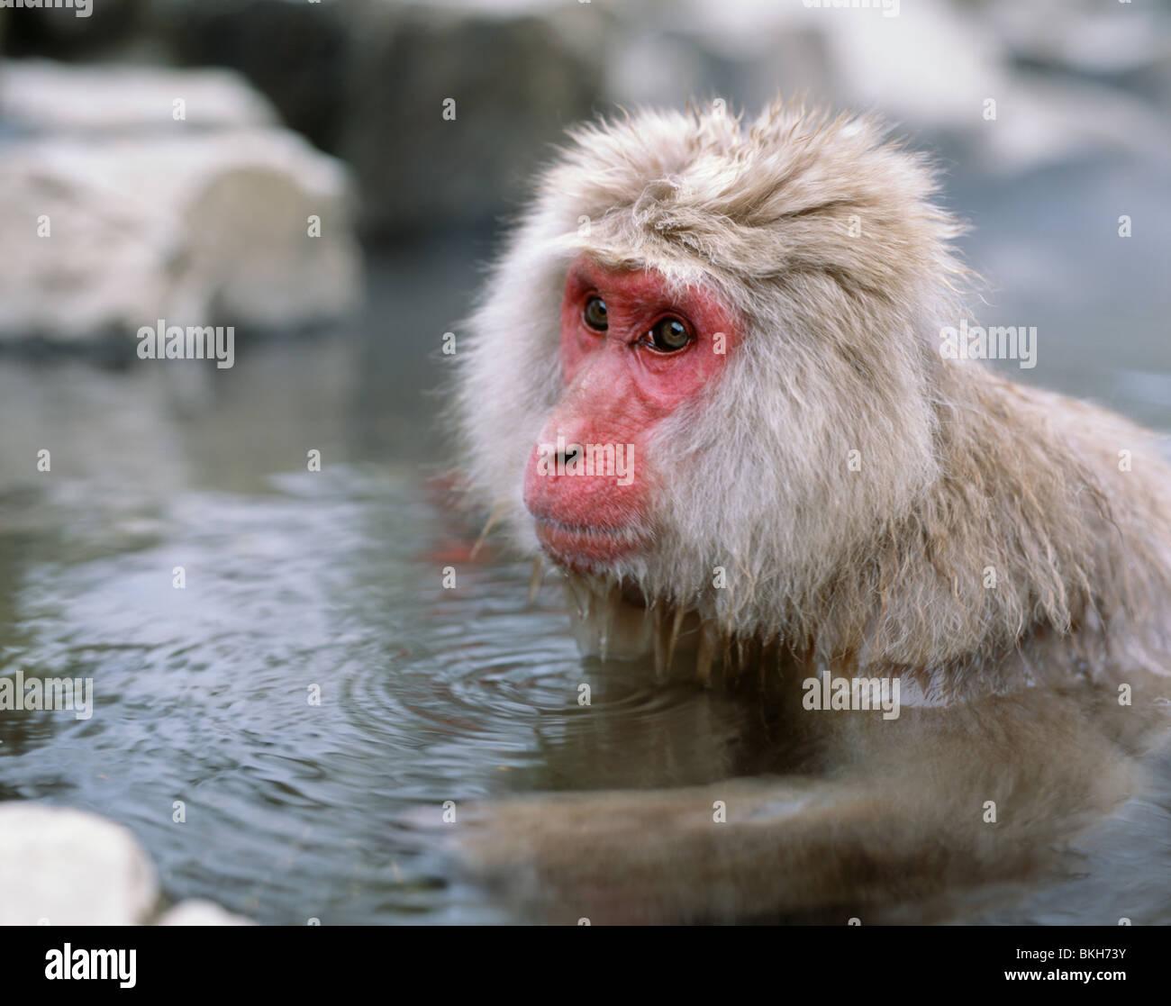 Japanese Snow Monkey , Japanese Macaque ( Macaca fuscata ) bathing in hot springs Jigokudani, Nagano, Japan Stock Photo