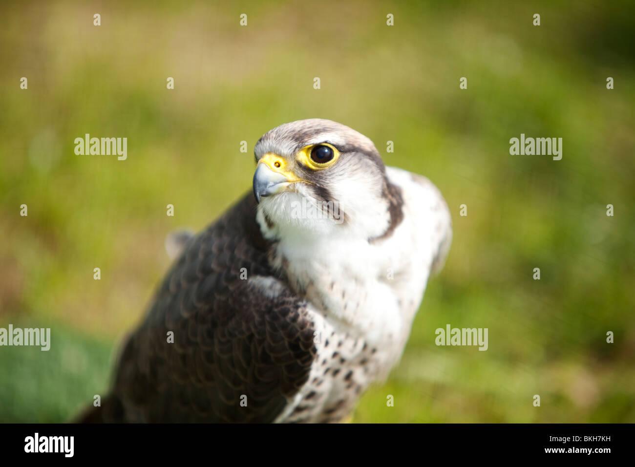 falcon - Stock Image