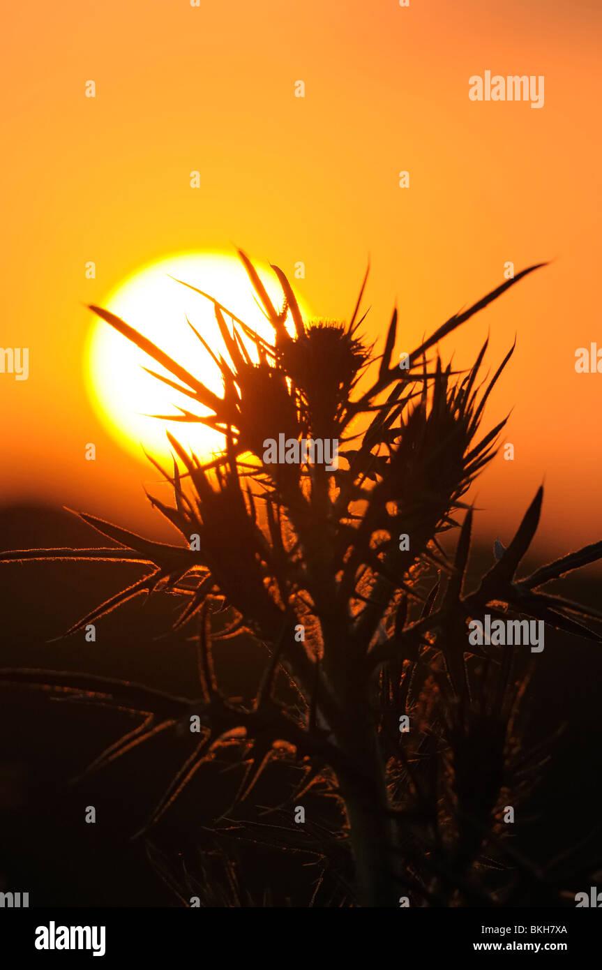 Speerdistel met zonsondergang; Sunset with a Spear Thistle - Stock Image