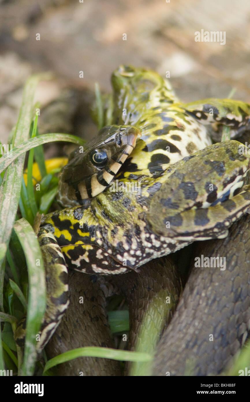 Een Ringslang heeft een forse Bastaardkikker gevangen en heeft grote moeite om deze prooi naar binnen te werken. Stock Photo