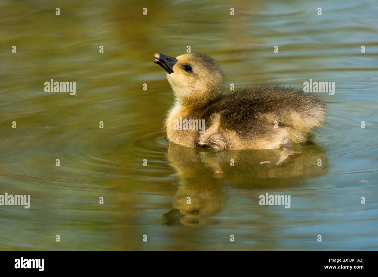 Baby Greylag goose - Stock Image