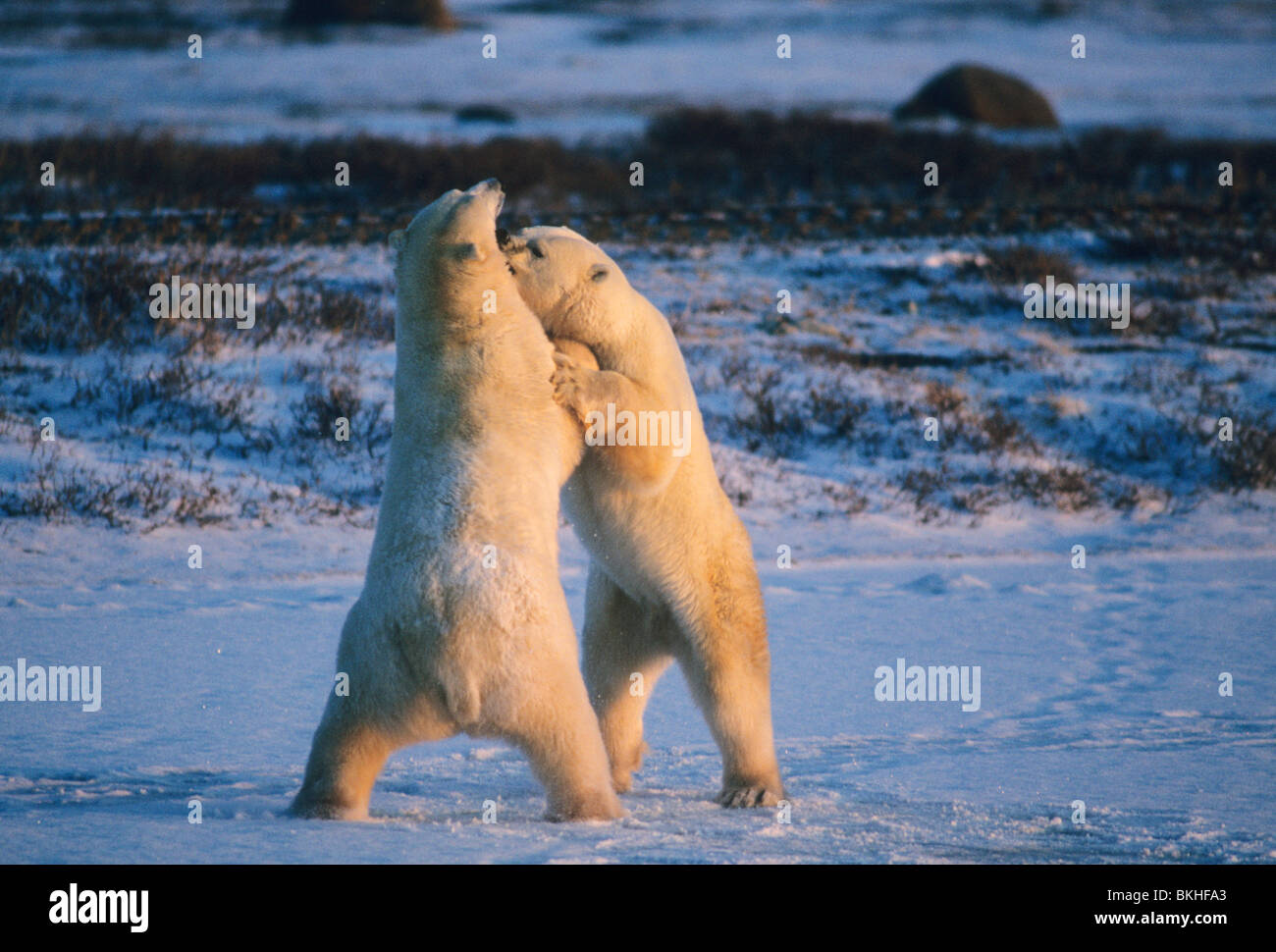 Polar Bears, (Ursus maritmus), play fighting, Hudson Bay, Churchill, Manitoba, Canada. - Stock Image