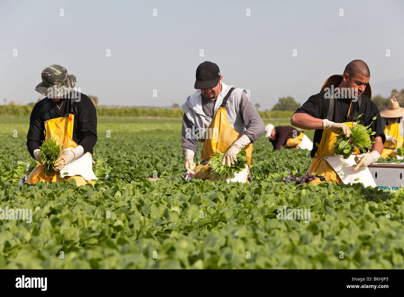 Spinach 'Spinacia oleracea', workers harvesting. - Stock Image
