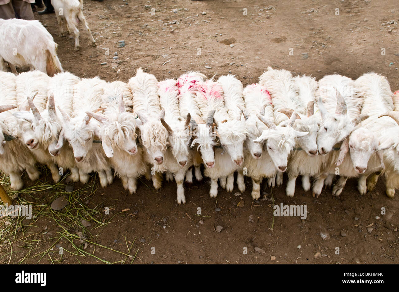 Goats tied together in the colorful Sunday market in Kashgar. - Stock Image