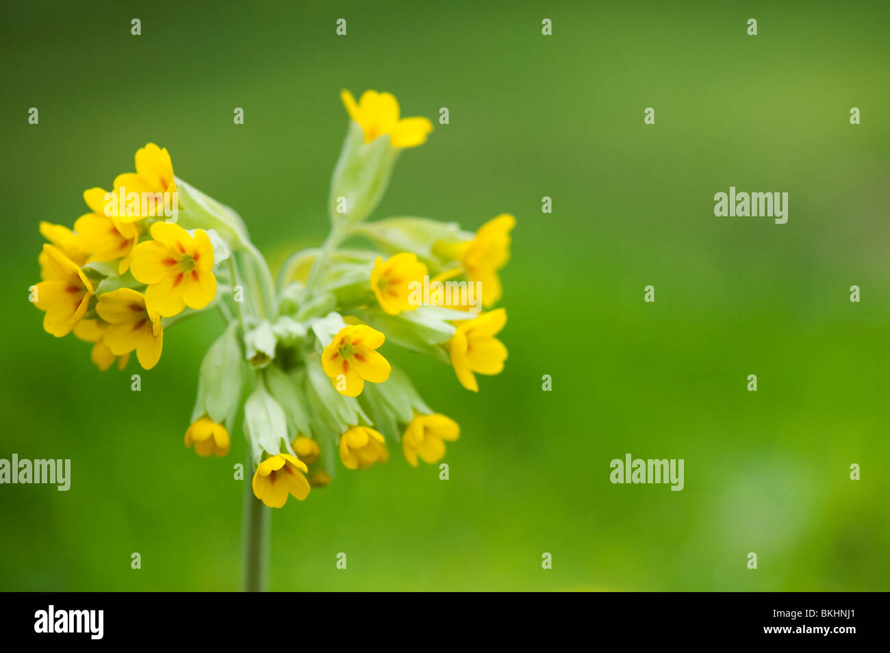 Primula veris. Cowslip flower in the grass Stock Photo