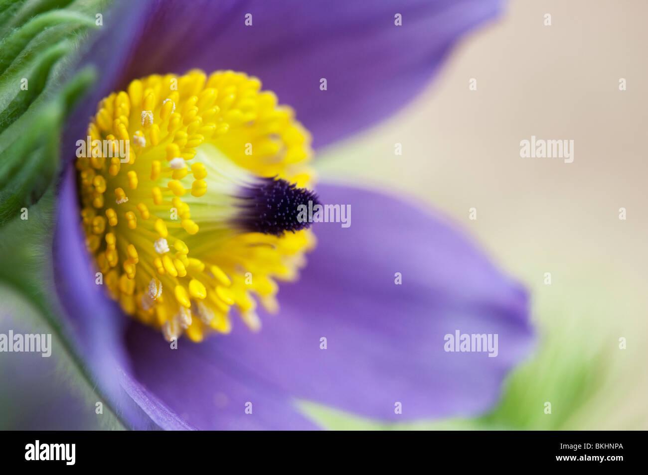 Pulsatilla Vulgaris. Pasque flower - Stock Image