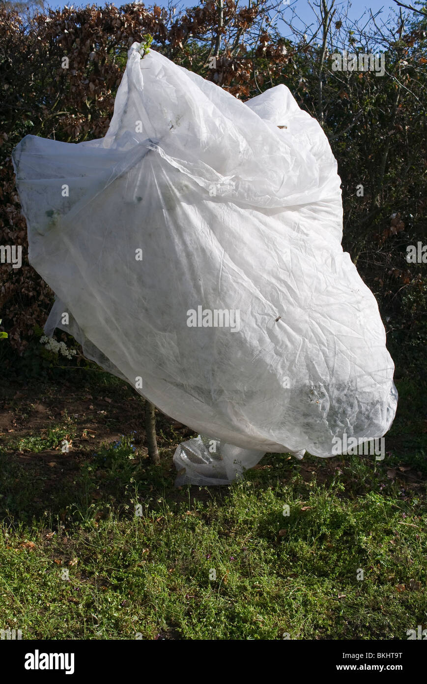 Damson tree protected from overnight frost with fleece in April - Stock Image