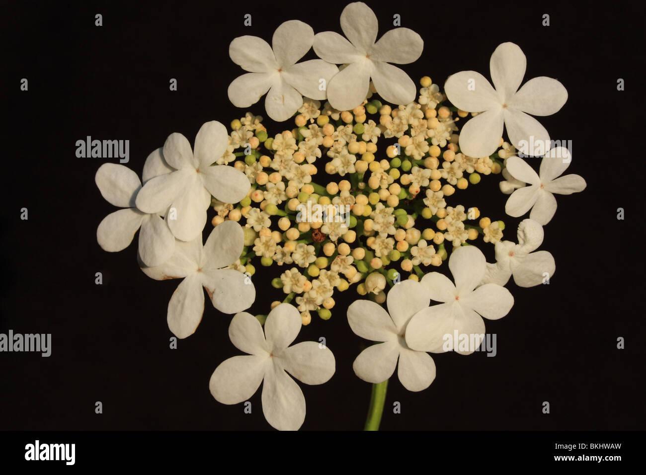 bloeiwijze van Gelderse Roos met steriele randbloemen (of zo je wilt: randstandige schijnbloemen) en centraal echte Stock Photo