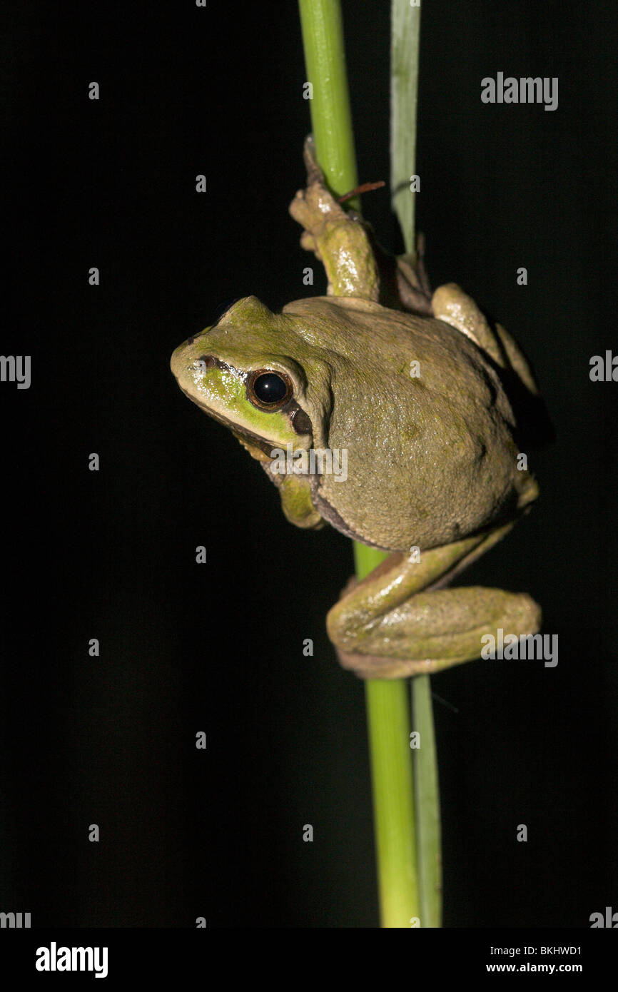 photo of a common tree frog on reed during the night, this common tree frog is coloured brown, common tree frogs Stock Photo