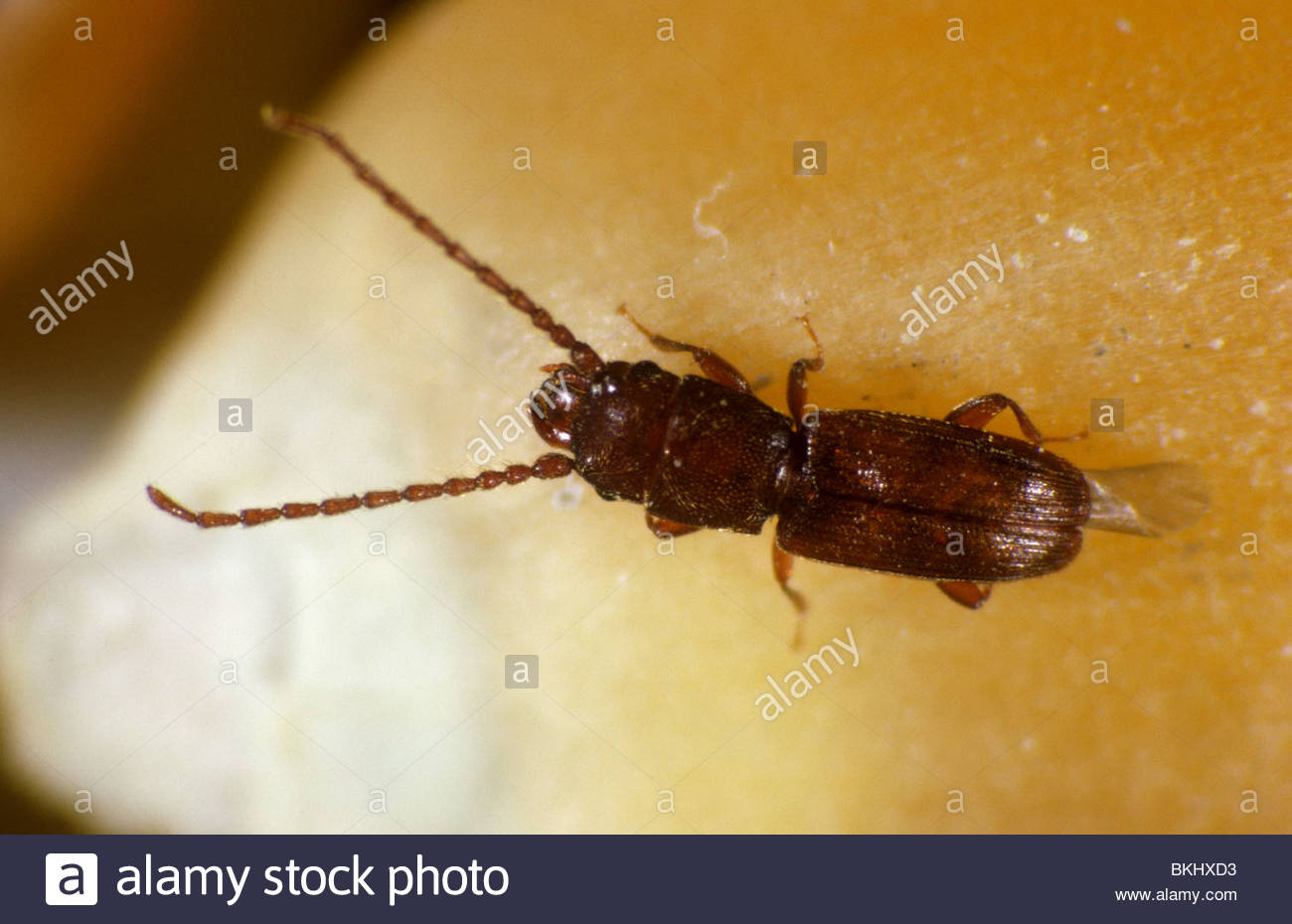 Rust red or flat grain beetle (Cryptolestes ferrugineus) on maize or corn grain - Stock Image