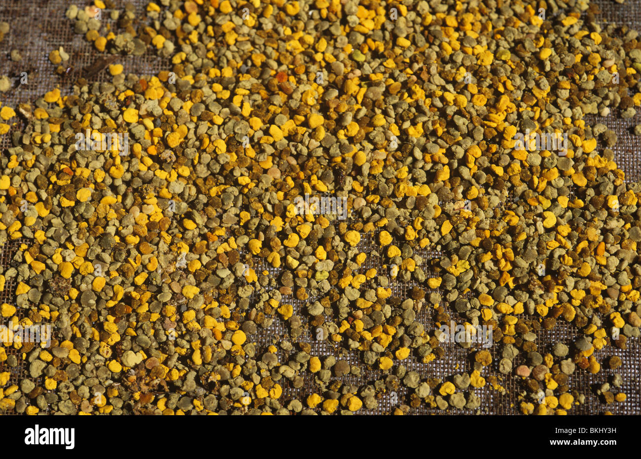 Worker honey bees (Apis mellifera) pollen pellets in hive pollen trap - Stock Image