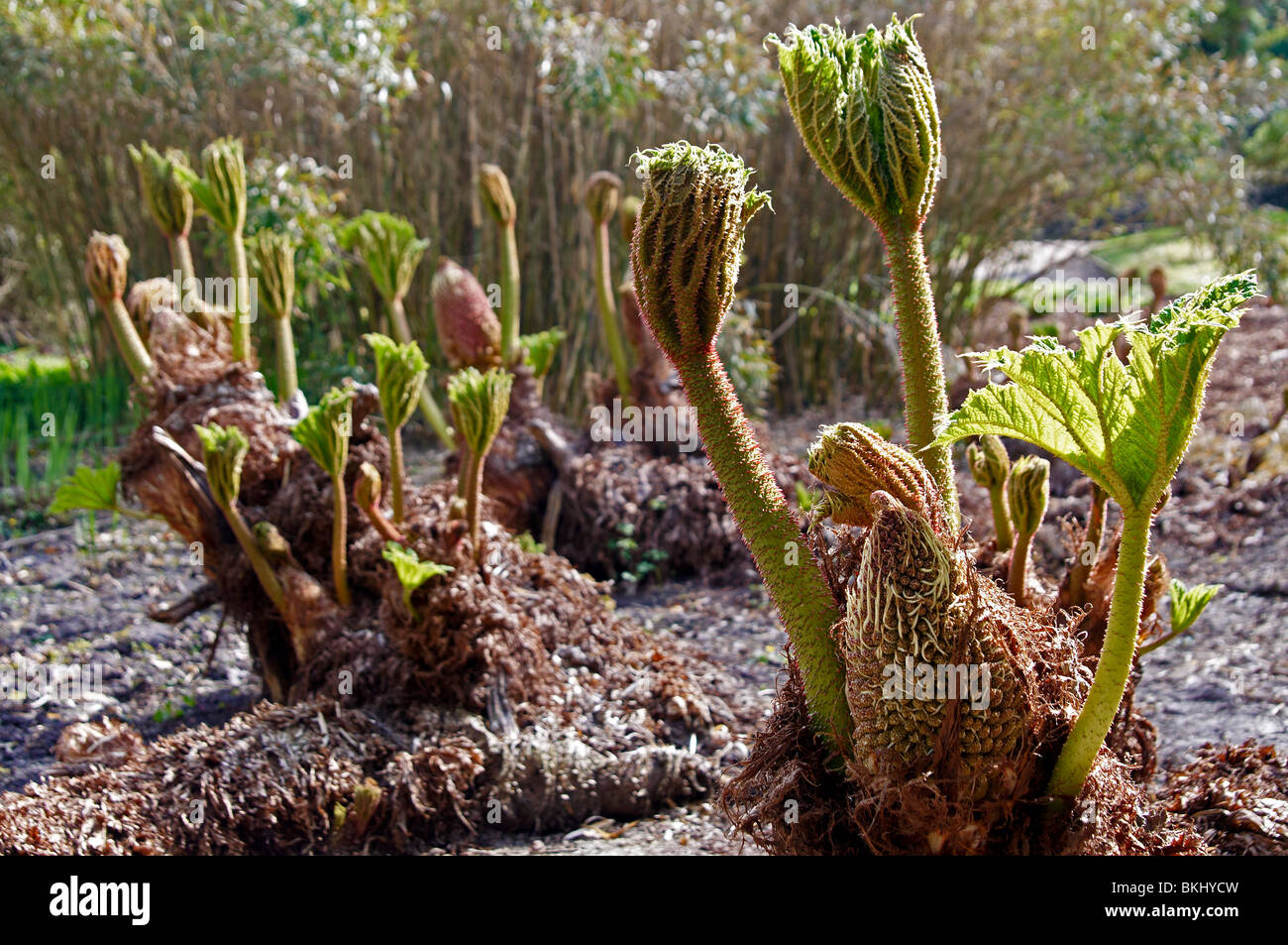 Gunnera manicata Linden ex Delchevalerie plants bursting into life ...