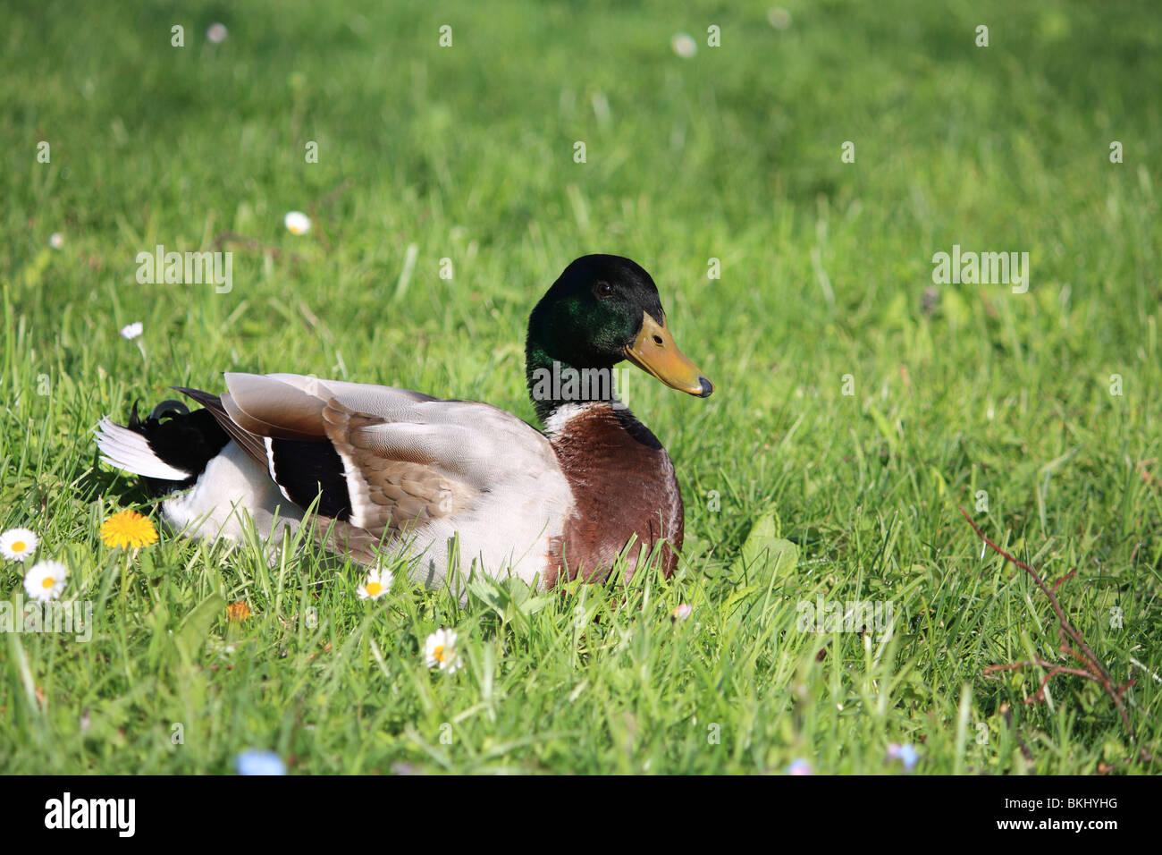 Stock Photo - Mallard Duck - Stock Image