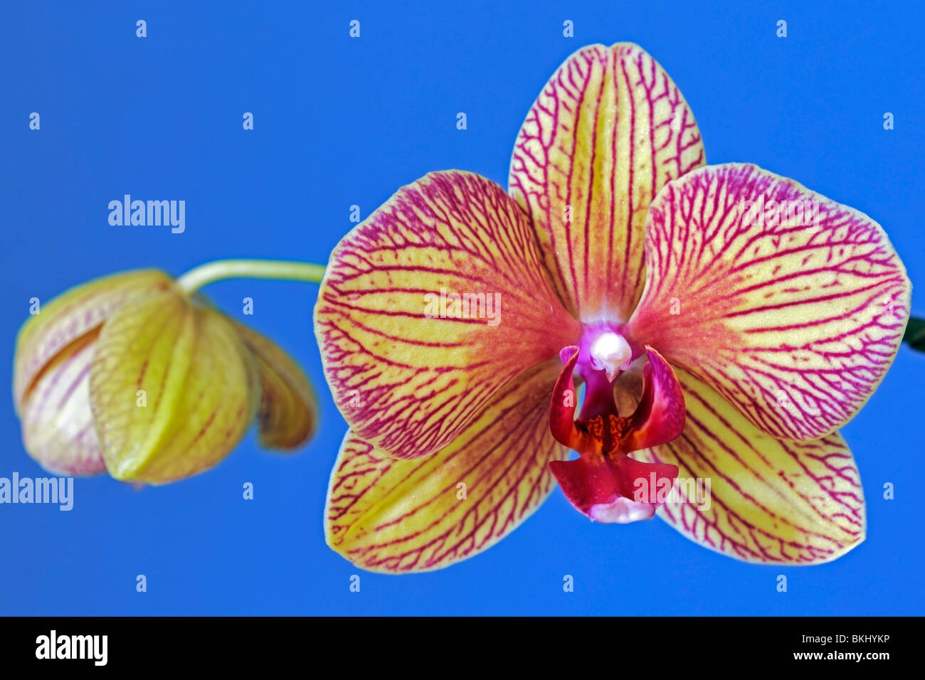 Attractive bilateral symmetry in a Moth orchid - Stock Image