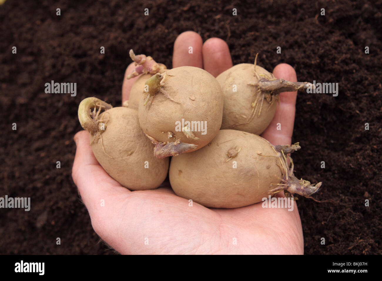 Planting seed potatoes variety called Nadine Stock Photo