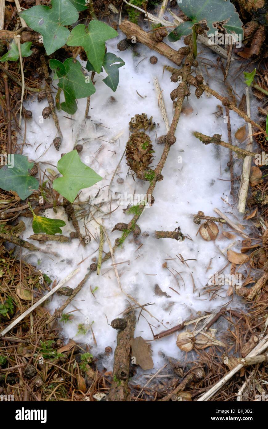 White fungal mycelium on the woodland floor, Wales. - Stock Image