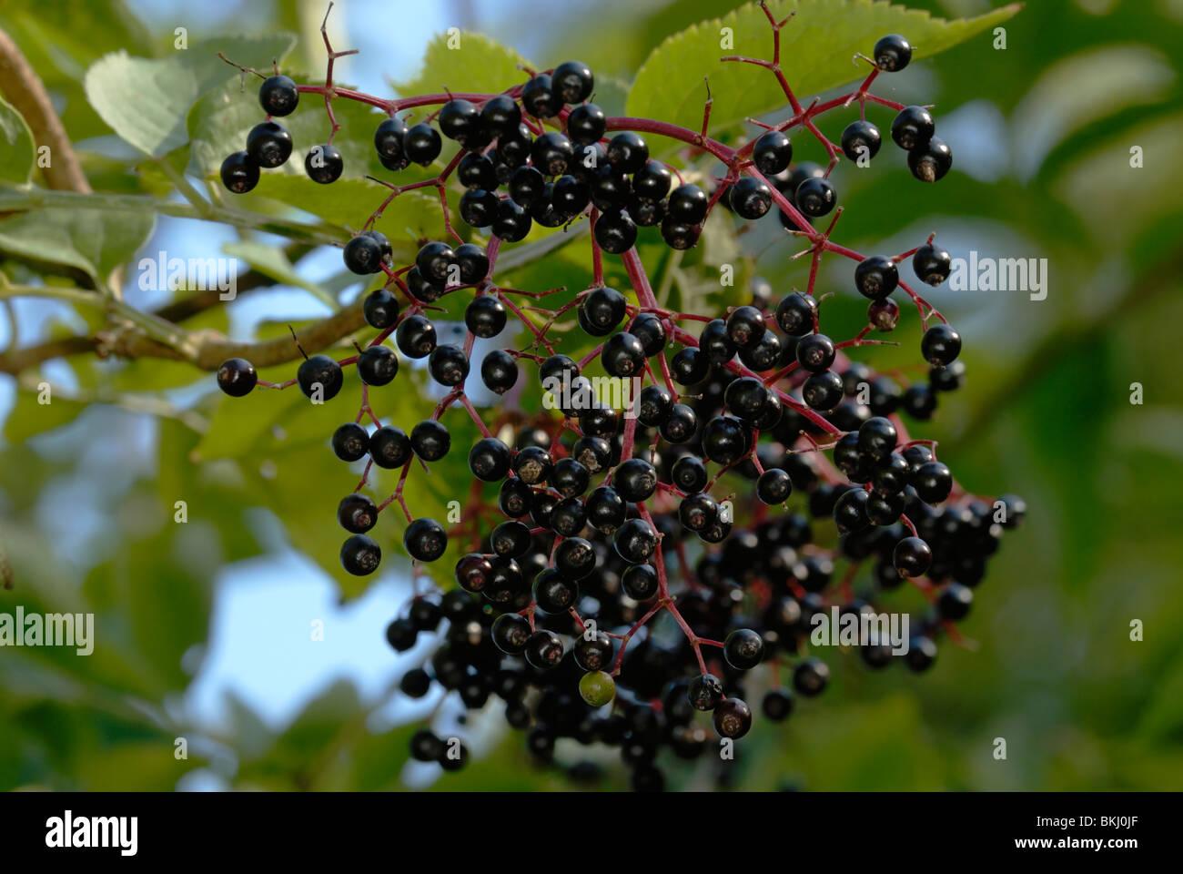 Berries of Elder tree, Sambucus nigra, Wales. - Stock Image