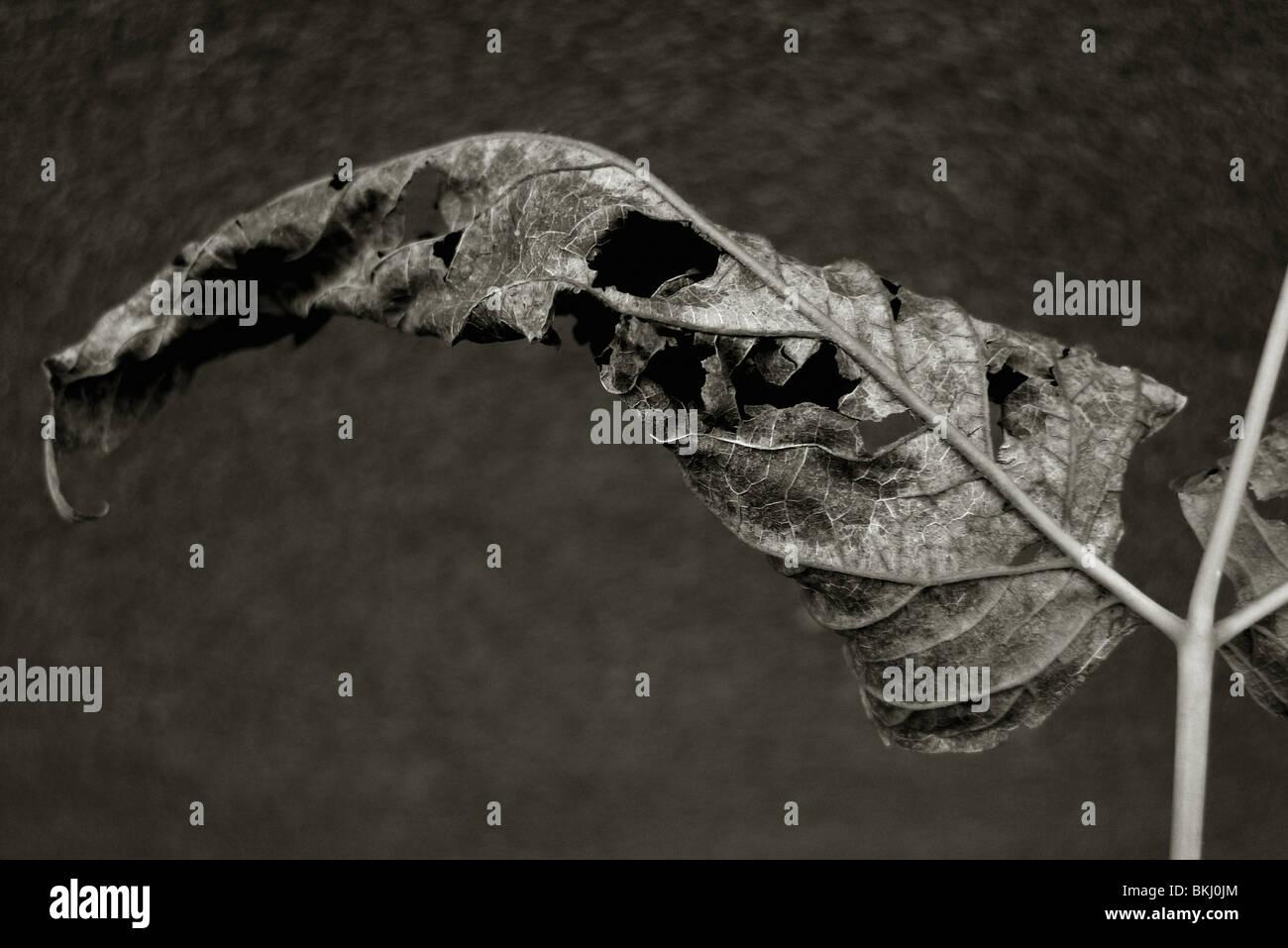 Dying leaf. - Stock Image