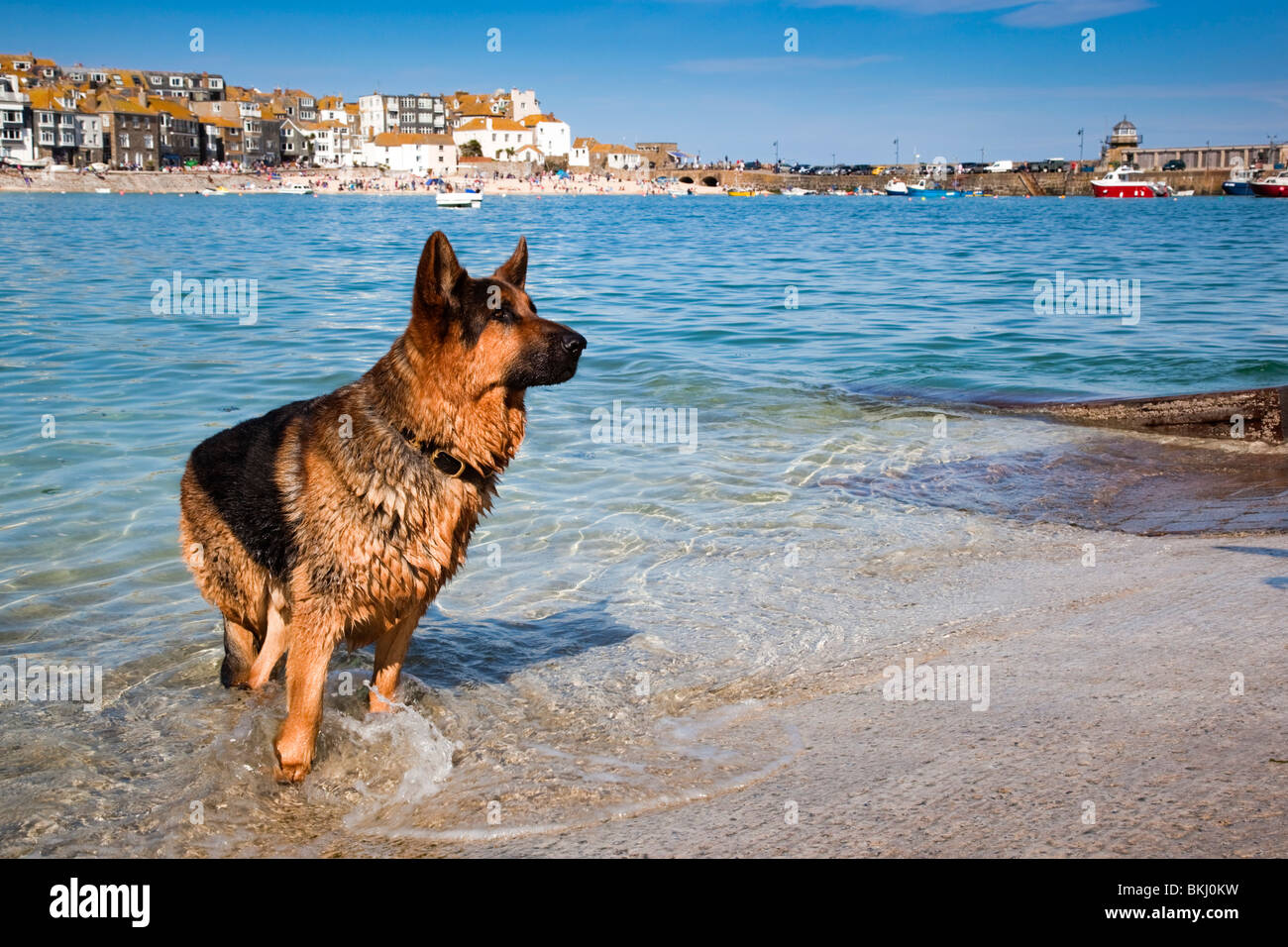 Alsatian dog swimming in the harbour; St Ives; Cornwall - Stock Image