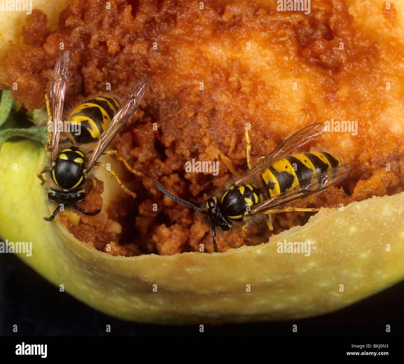 Common wasp (Vespula vulgaris) adults feeding on a damaged apple fruit - Stock Image