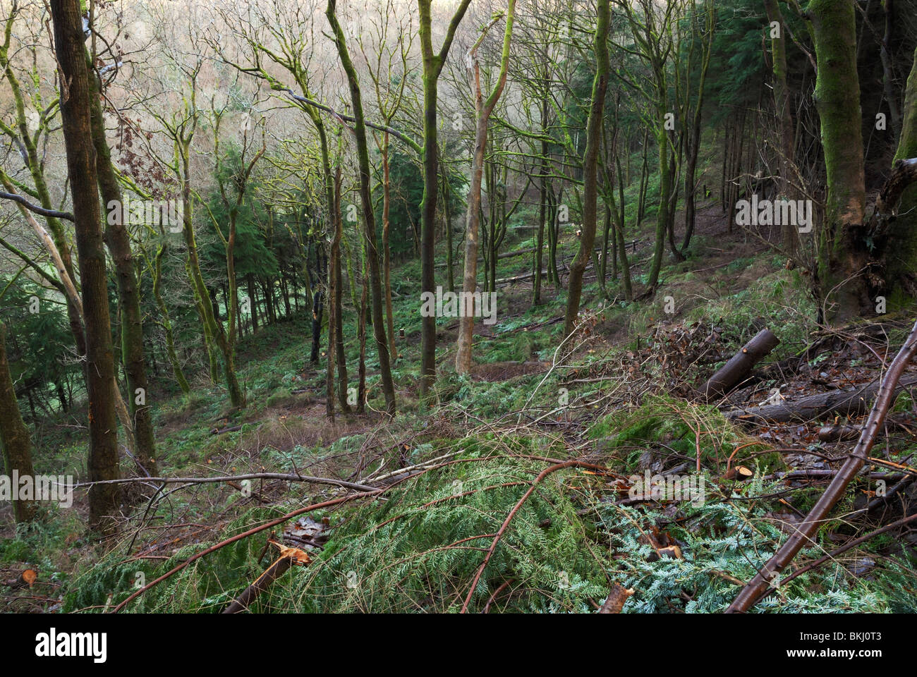 Western Hemlock Tsuga heterophylla planted in Ancient Oak woodland, being cleared as part of the 'Better Woods - Stock Image