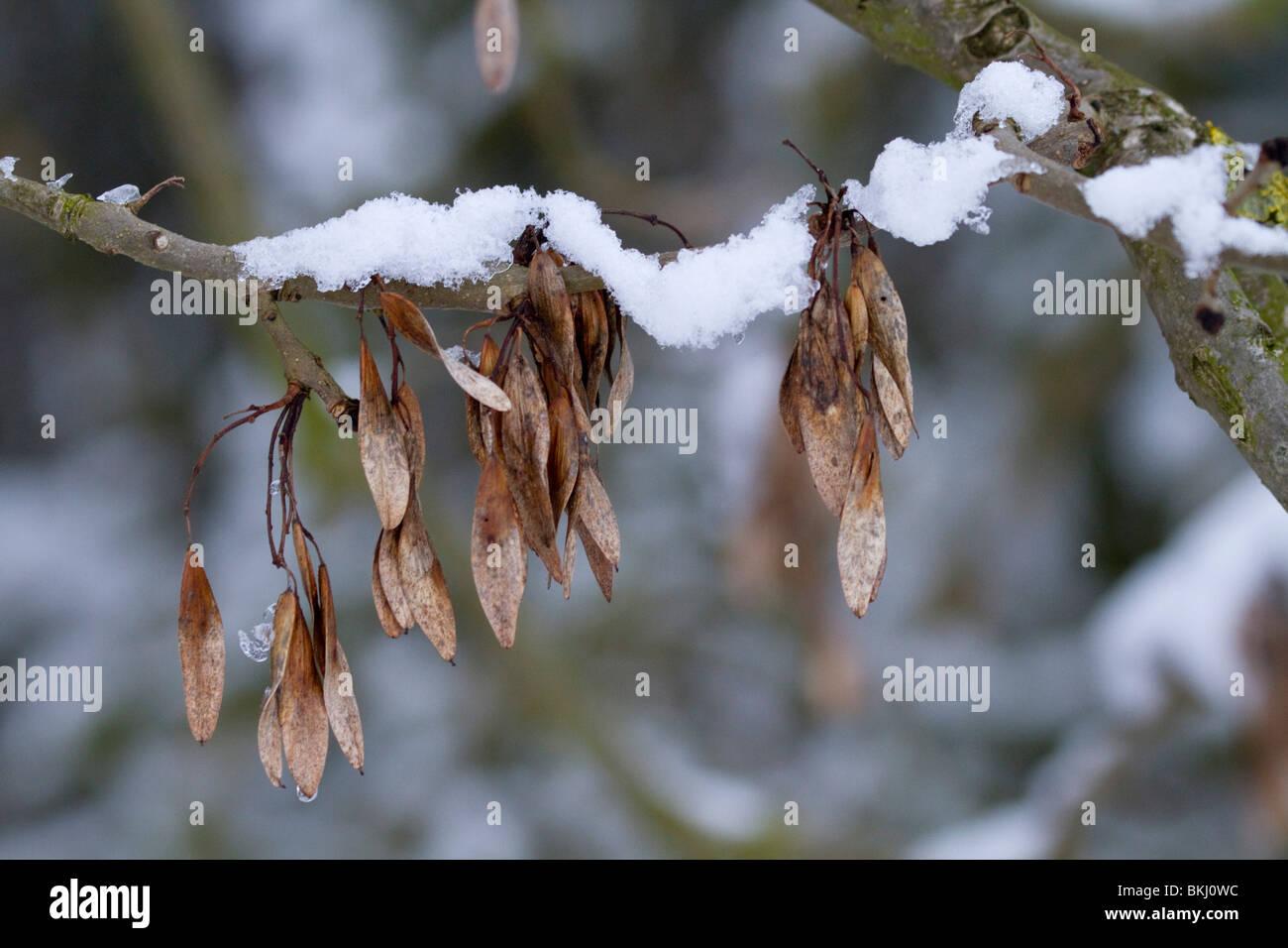 Snow on ash tree keys; winter - Stock Image