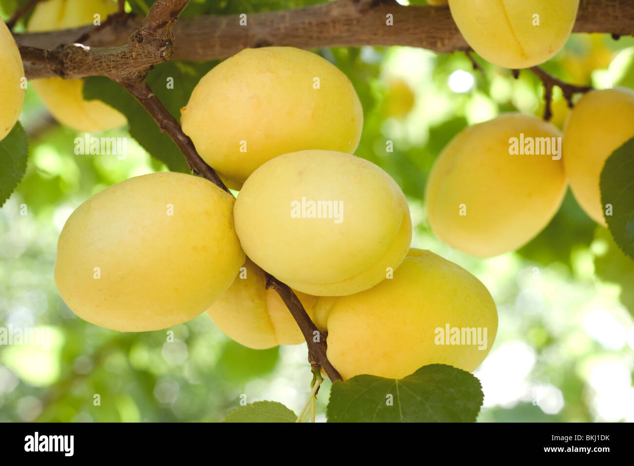 The best and sweetest  apricots which grow only in Armenia. - Stock Image